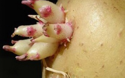 Настойка из ростков картошки для суставов